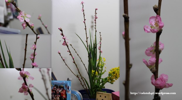bunga momo yang mirip sakura